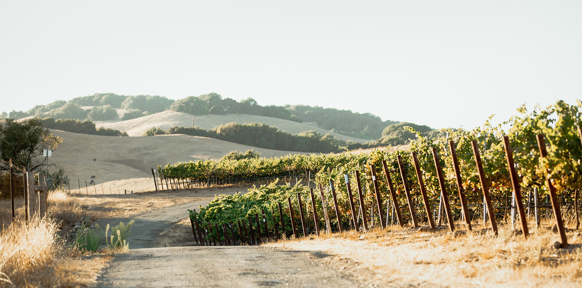 etude's estate vineyard in carneros, sonoma