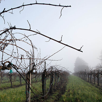 etude wineyard in the winter - dormant vines, fog