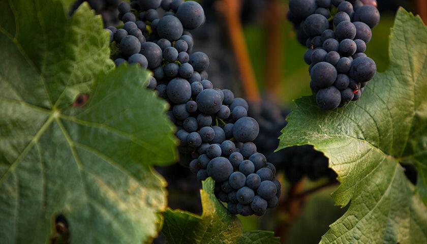pinot noir grapes during growing season
