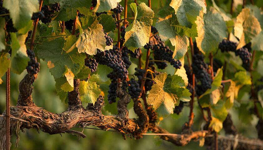pinot noir vines in etude vineyard