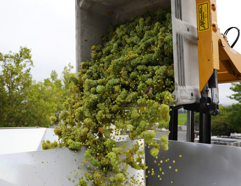 white wine grapes beginning the winemaking process