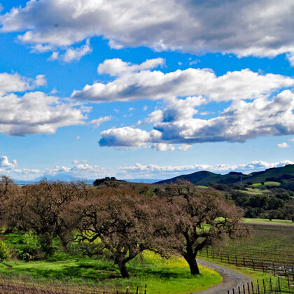 beautiful oak trees that dot the landscape at etude's estate vineyard
