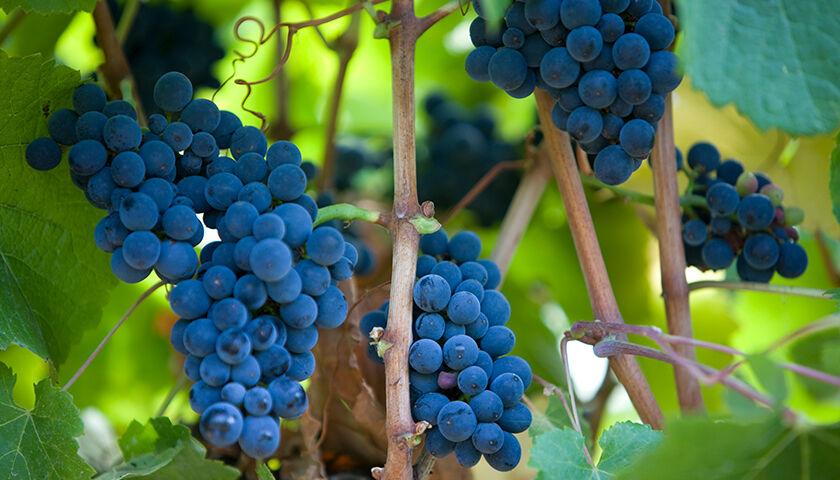 Pinot noir grapes in grace benoist vineyard