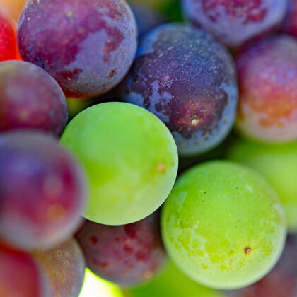 veraison of etude grape clusters in carneros