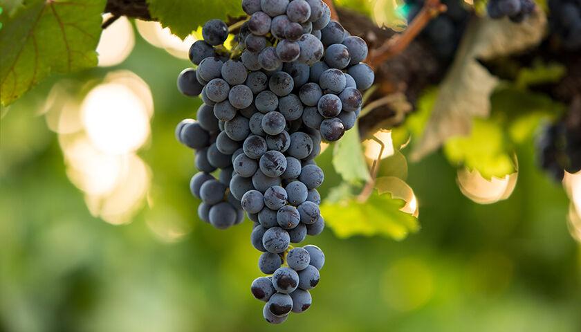 pinot noir grapes in etude vineyard
