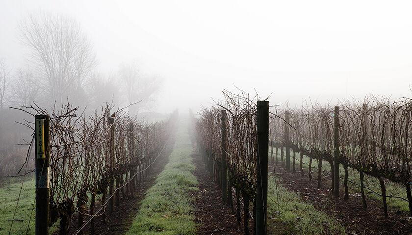 etude vineyard on a foggy winter morning