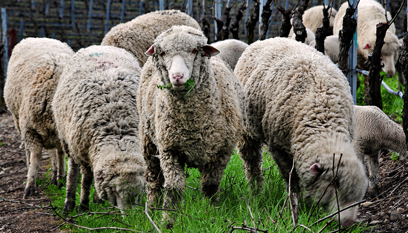sheep are used in lieu of weed killer as part of sustainability program
