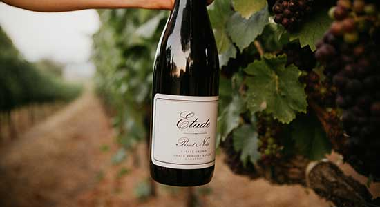 etude carneros pinot noir in vineyard